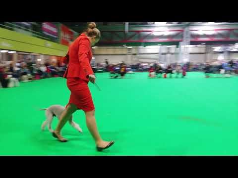 Crufts 2019 - Bedlington Terrier - Dog CC