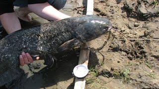 Рыбалка сом на лягушку ловля сома донками Рыбкино
