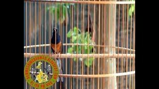Download lagu chim chich choe lua hot giọng rừng đảo giọng cực hay