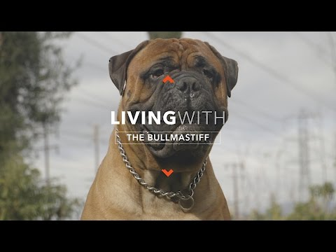 all-about-living-with-the-bullmastiff