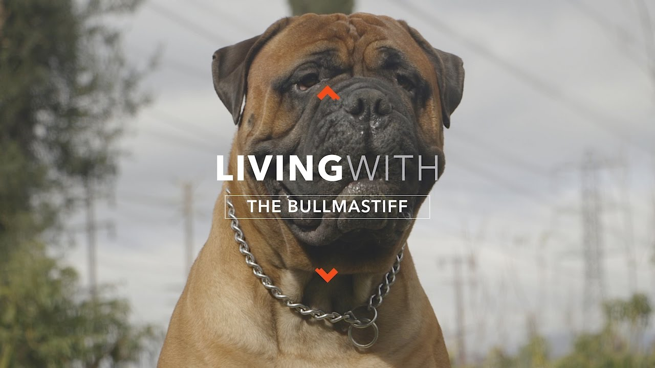 all about living with the bullmastiff youtube