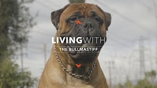 ALL ABOUT LIVING WITH THE BULLMASTIFF