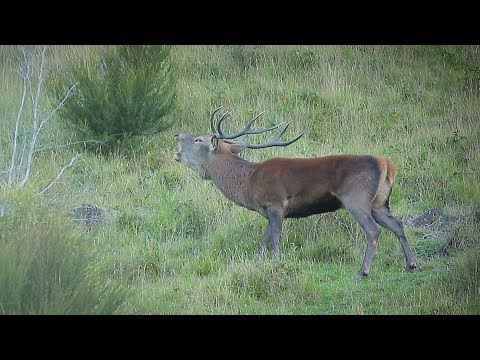 "2018  Film 2  -  ""Autumn Calls""  -  Part 1 ... Red Stag 'roar' Hunting With Longbow And Compound"