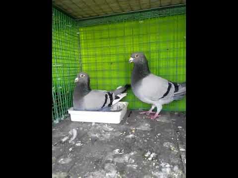 Ajith homing pigeons