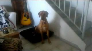 Teaching A Dog An Alternate Behaviour And To Greet Visitors Calmly, Instead Of Jumping.
