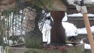 flapper cam 27th March 2013 - Blue tit and Coal tit