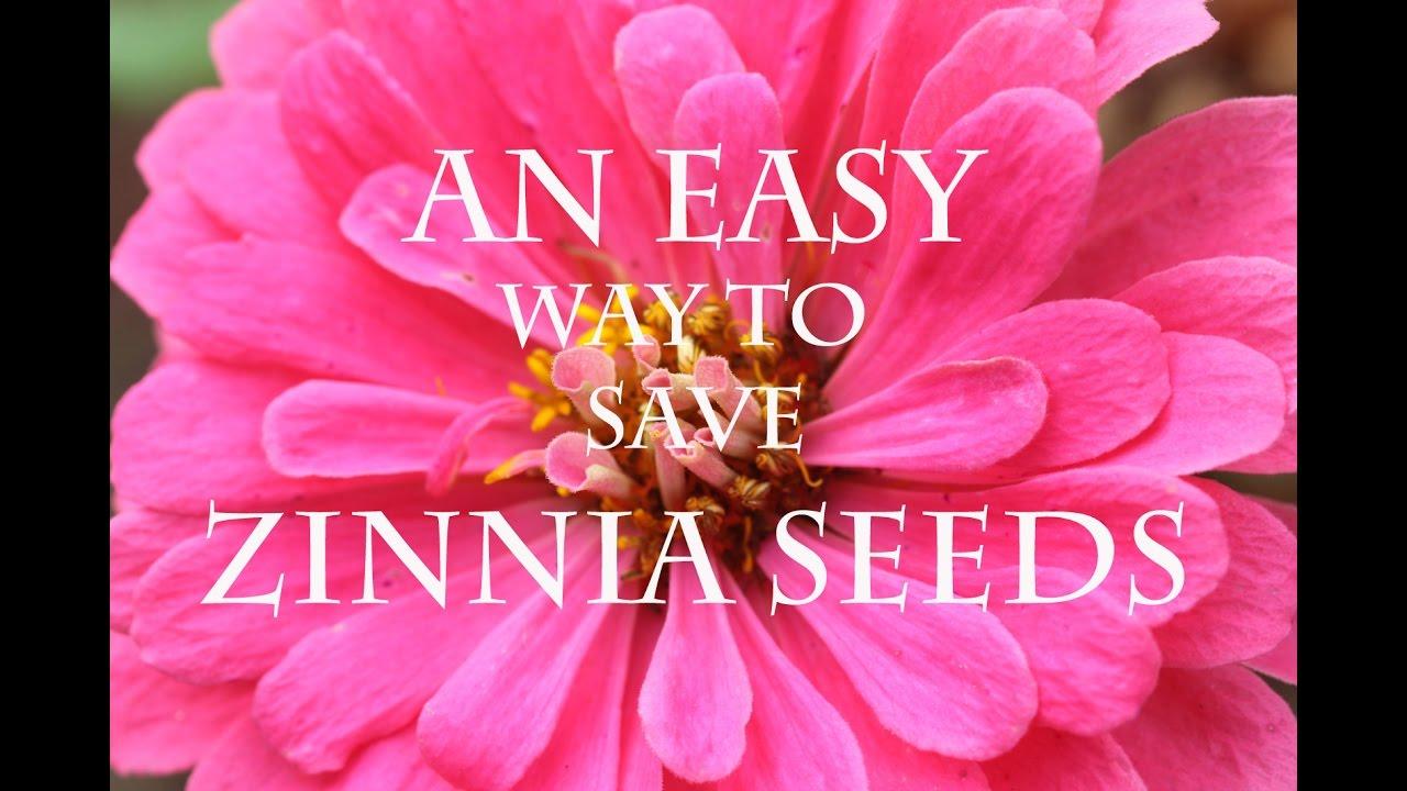 Easy Seed Saving Zinnia Flowers Youtube