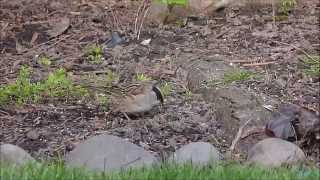 Golden crowned Sparrow and YRW