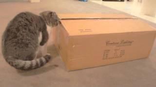 Британские кошки мягкие, как плюшевые.