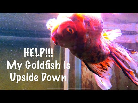 Help My Goldfish Is Upside Down!!