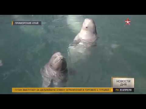 Косаток и белух из «китовой тюрьмы» в Приморье выпустят в океан
