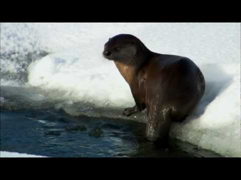 A Winter Playground: River Otters