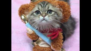 Смешное видео с кошками. Самое лучшее! Кошка-обезьяна!
