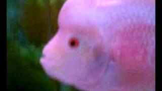 golden base flowerhorn fish the faders