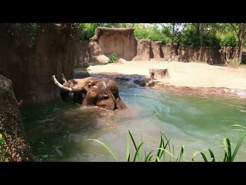 Asian elephant Raja dives into at Saint Louis Zoo
