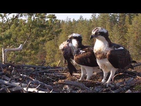 #1 Satakunnan sääkset (Osprey Cam in Finland)