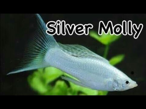 Silver Molly | Fish Review