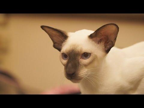 Ликои: кошки-оборотни -