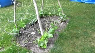 Kentucky Wonder Beans June-19-12  Zone 5a Video #2