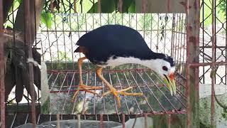 tiếng chim quốc mồi chuẩn nhất