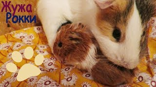 Новорожденные морские свинки. New born baby guinea pigs