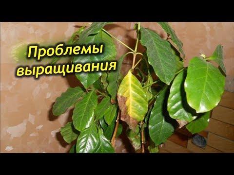 Почему чернеют, желтеют и сохнут листья у кофейного дерева?