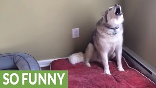 Extremely stubborn Husky throws epic temper tantrum