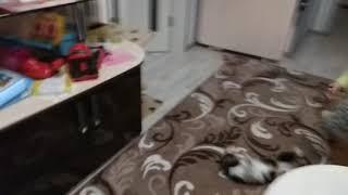 Кошка НЕНАВИДИТ бутылку от валерьянки :)))))