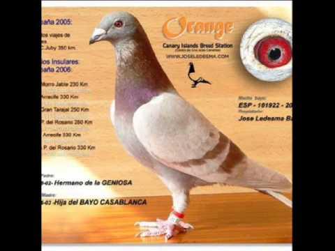 حمام زاجل (pigeon)