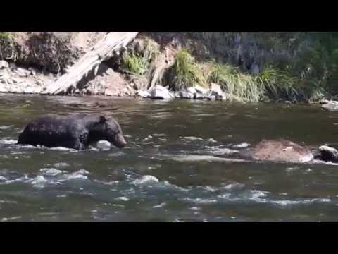 Grizzly Bear Eating Bison at LeHardy Falls Yellowstone National Park