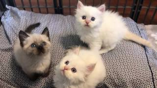Purebred PERSIAN / Purebred SIAMESE - 5 Week Old KITTENS