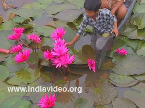 Children plucking Water Lilies