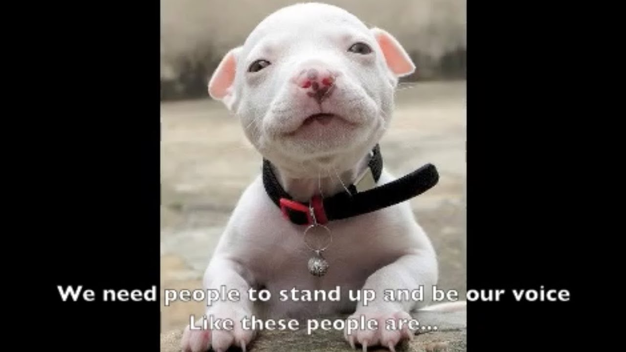 maxresdefault Pitbull Dog Love Quotes