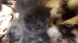 Шотландские вислоухие котята 1,5 недели начинают играть / маленькие вислоухие дети