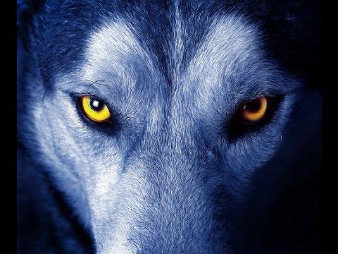 Lobos alfa y omega, lucha con un equipo ganador