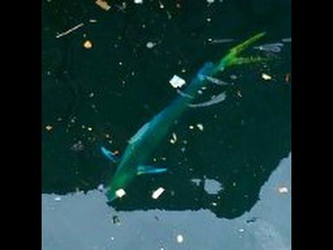 Exotic Fish Inside Long Beach Harbor
