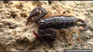 Ardèche - Le Scorpion ardéchois (4K)
