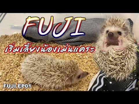 FUJI EP.01  เริ่มเลี้ยงเจ้าเม่นแคระ