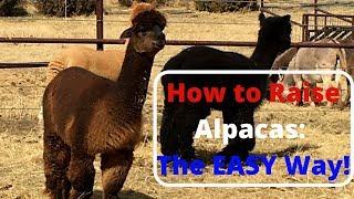 How to Raise Alpacas  The Easy Way!