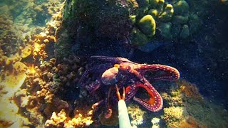 Hunting Octopus using Gopro!