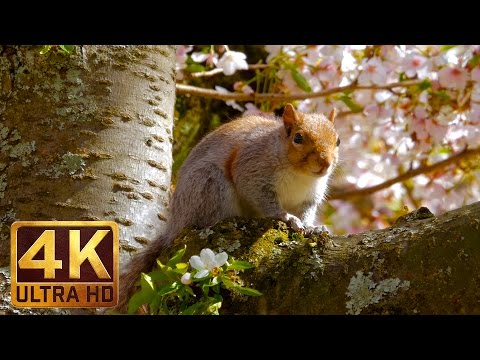 2016 Cherry Blossoms University of Washington - (1 Hour) 4K UHD Video + Relaxing Music