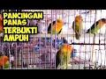 Pancingan Lovebird Kompilasi Suara Lovebird Ombyokan Suara Panggilan Lovebird Ngetik Ngekek  Mp3 - Mp4 Download