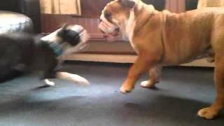 Boston Terrier Puppy V British Bulldog