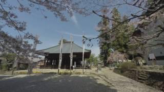 桜堂薬師 桜ふぶき 瑞浪市観光協会