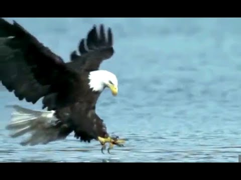 Wild Eagle Attacks, Best Attacks Ever