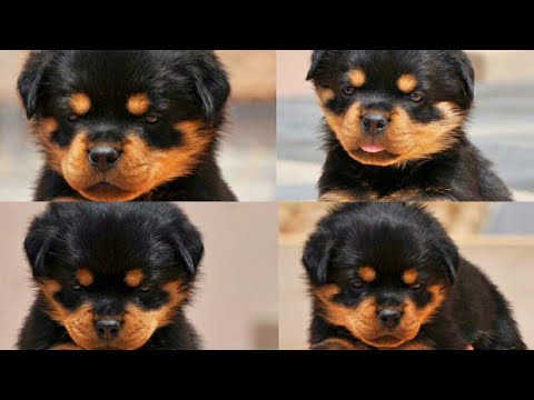 A short summary on Serbian rottweiler………….தமிழ்