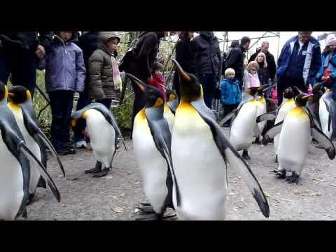King Penguin Parade 2