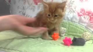 Видео мейн кун котёнка Базиль 1.1 Питомник кошек мейн кун_MisterCoon