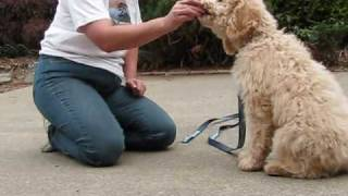 Olympic Labradoodles Puppy Training Program