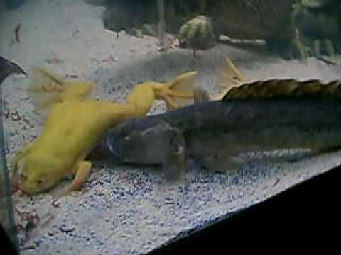 Large violet goby named falkore youtube for Dragon fish goby